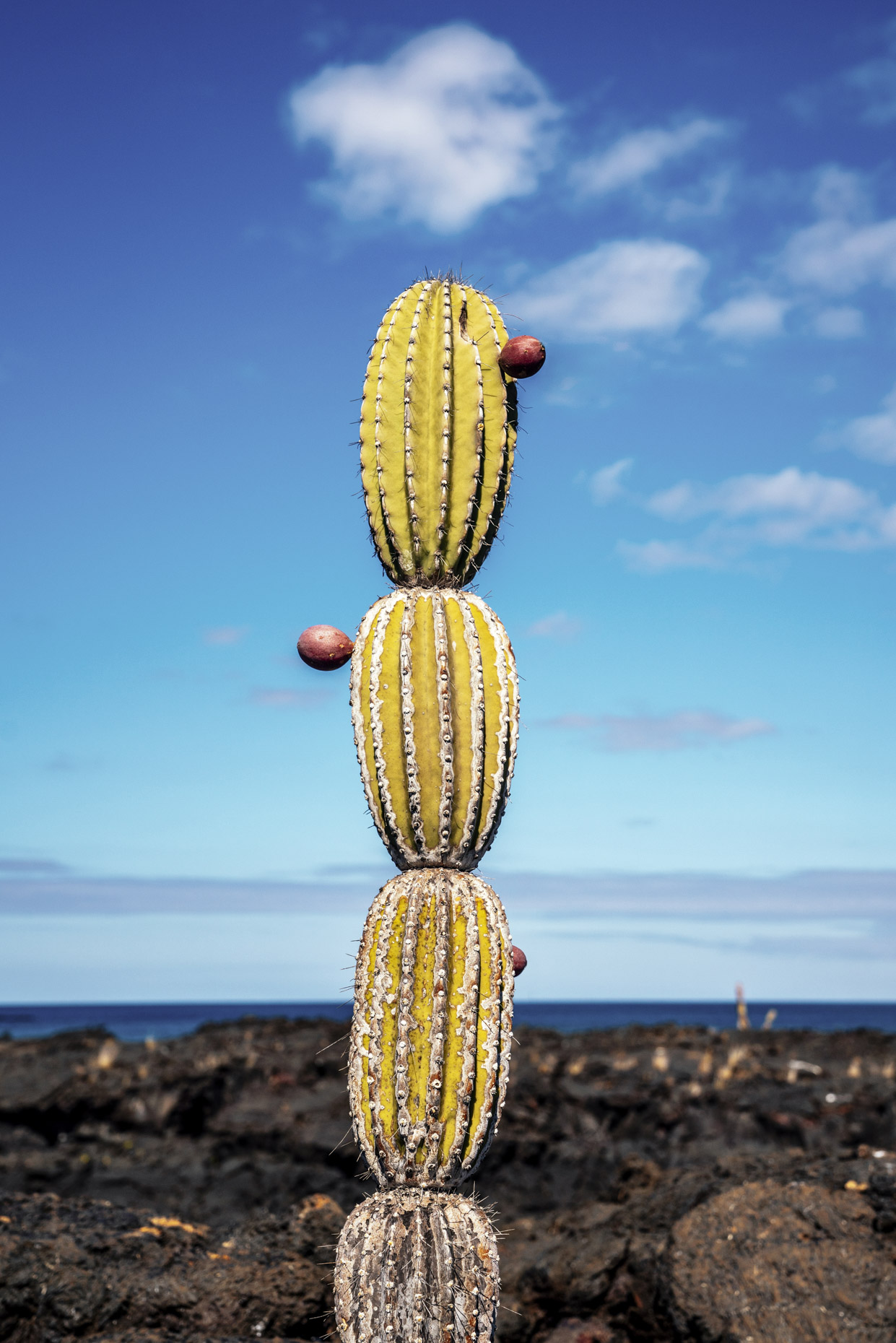 Cactus with fruit in lava field in Galapagos Ecuador