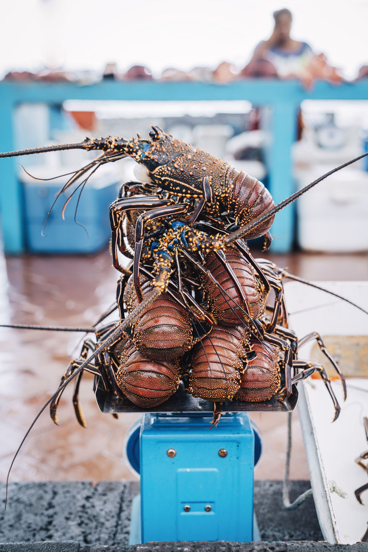 Fresh caught lobster on scale in outdoor market in Galapagos, Ecuador
