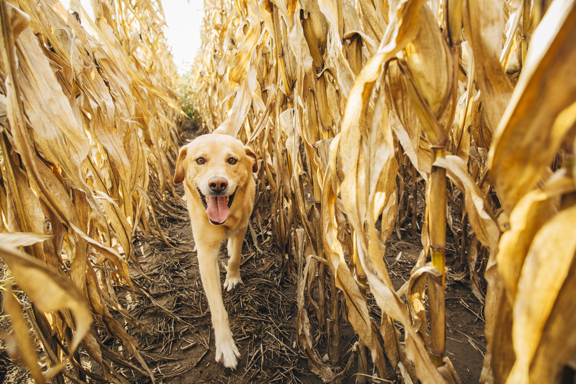 Yellow labrador retriever dog walking through cornfield